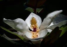Fioritura del fiore della magnolia Immagini Stock