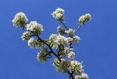 Fioritura del fiore della pera Fotografie Stock
