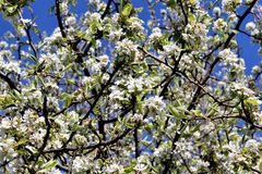 Fioritura del fiore della pera Immagine Stock