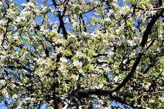 Fioritura del fiore della pera Fotografie Stock Libere da Diritti