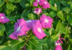 Fioritura del fiore della vinca Fotografia Stock Libera da Diritti
