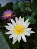 Fioritura del fiore di Lotus fotografie stock