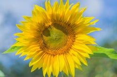 Fioritura del girasole un il giorno soleggiato luminoso Immagine Stock Libera da Diritti