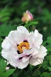 fioritura del peony Fotografia Stock