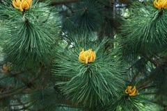 Fioritura del pino Fotografia Stock