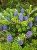 Fioritura del pino per il Natale Fotografia Stock Libera da Diritti
