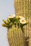 Fioritura del saguaro Fotografia Stock Libera da Diritti