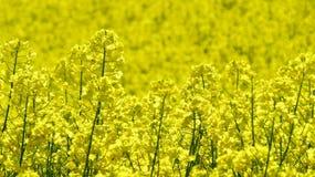 Fioritura del seme di ravizzone Fotografia Stock