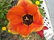 Fioritura del tulipano della primavera Fotografie Stock Libere da Diritti