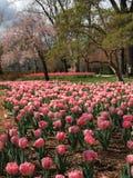 Fioritura del tulipano in parco urbano Immagini Stock