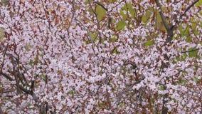 Fioritura dell'albero della primavera video d archivio