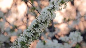 Fioritura dell'albero della primavera stock footage