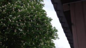 Fioritura dell'albero di castagne archivi video