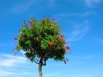 Fioritura dell'albero di melograno, isolata su cielo blu fotografia stock libera da diritti