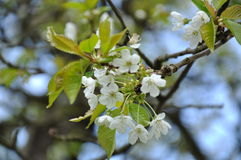 fioritura dell'albero (Europa) immagine stock
