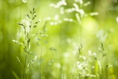 Fioritura dell'erba verde di giugno Fotografia Stock Libera da Diritti