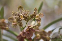 Fioritura dell'orchidea Immagini Stock