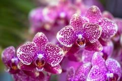 Fioritura dell'orchidea Fotografie Stock