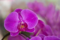 Fioritura dell'orchidea Fotografia Stock Libera da Diritti
