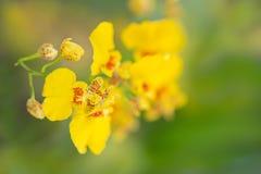 Fioritura dell'orchidea Fotografia Stock