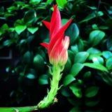 Fioritura dell'orchidea del cactus Fotografia Stock Libera da Diritti