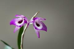 Fioritura dell'orchidea del Dendrobium in giardino Immagine Stock