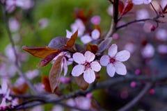 Fioritura della ciliegia Immagini Stock Libere da Diritti