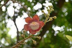 Fioritura della fioritura Fotografia Stock