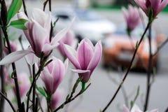 Fioritura della magnolia Fotografia Stock
