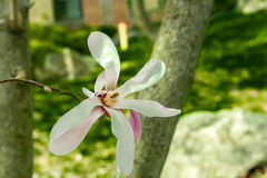 Fioritura della magnolia Immagini Stock Libere da Diritti