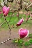 Fioritura della magnolia delle piante dei fiori in primavera Fotografia Stock