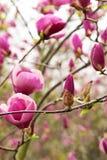 Fioritura della magnolia delle piante dei fiori in primavera Immagini Stock