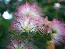 Fioritura della mimosa Fotografia Stock Libera da Diritti