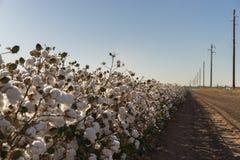 Fioritura della palla di cotone piena - immagine del raccolto dell'azienda agricola di agricoltura Immagine Stock