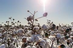 Fioritura della palla di cotone piena - immagine del raccolto dell'azienda agricola di agricoltura Fotografia Stock