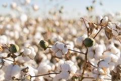 Fioritura della palla di cotone piena - immagine del raccolto dell'azienda agricola di agricoltura Fotografie Stock Libere da Diritti