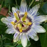 Fioritura della passiflora fotografia stock libera da diritti