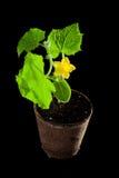 Fioritura della pianta del cetriolo Fotografia Stock