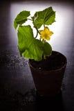 Fioritura della pianta del cetriolo Fotografia Stock Libera da Diritti