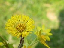 fioritura della pianta del Puledri maschi-piede Immagine Stock