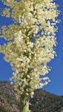 Fioritura della pianta del Yucca contro cielo blu Fotografie Stock Libere da Diritti