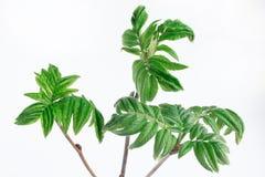 Fioritura della primavera e bacca di sorbo verde del ramoscello tre closeup fotografia stock