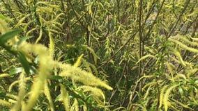 Fioritura della primavera I rami del cespuglio fluttuano nel vento Hanno le giovani foglie e fiori sotto forma di orecchini archivi video