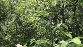 Fioritura della primavera I rami del cespuglio stanno fluttuando nel vento Hanno le giovani foglie e fiori video d archivio