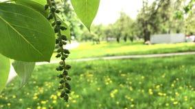 Fioritura della primavera I rami dell'albero stanno fluttuando nel vento Hanno le giovani foglie e fiori sotto forma di orecchini video d archivio