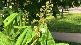 Fioritura della primavera I rami di una castagna sbocciante stanno volando nel vento Hanno le giovani foglie e fiori archivi video