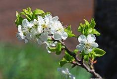 Fioritura della primavera Primo piano del ramo di melo Fotografia Stock Libera da Diritti