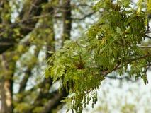 Fioritura della quercia Fotografia Stock Libera da Diritti