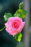 Fioritura della Rosa Fotografia Stock