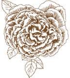 Fioritura della Rosa Fotografie Stock